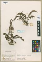 Isotype of Thelypteris strigillosa Smith, 1985 & Lellinger, 1985 [family THELYPTERIDACEAE]