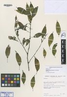 Isotype of Justicia yuyoensis Wassh. & J.R.I. Wood [family ACANTHACEAE]