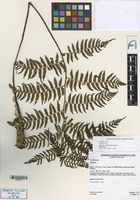 Isotype of Cyathea bettinae Lehnert [family CYATHEACEAE]
