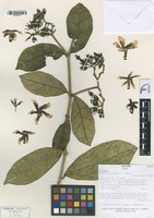 Isotype of Prestonia leco A. Fuentes & J.F. Morales [family APOCYNACEAE]