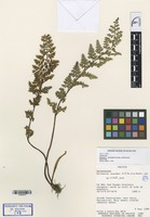Isotype of Eriosorus ascendens A.R. Sm. & M. Kessler [family PTERIDACEAE]
