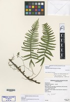 Holotype of Polypodium silvulae M. Kessler & A.R. Sm. [family POLYPODIACEAE]