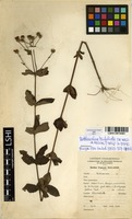 Filed as Bothriocline trifoliata (De Wild. & Muschl.) Wild & G.V.Pope [family ASTERACEAE]