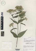 Isotype of Alloispermum colimense ( McVaugh ) H.Rob. var. microcephalum Fernandez ined. [family ASTERACEAE]