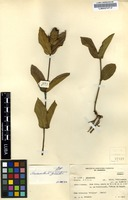 Filed as Neuracanthus gracilior S. Moore [family ACANTHACEAE]