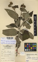 Filed as Bothriocline ugandensis (S.Moore) M.G.Gilbert [family ASTERACEAE]