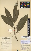Filed as Thecacoris viridis (Mull.Arg.) G.L.Webster subsp. glabra (J.Léonard) Govaerts [family PHYLLANTHACEAE]