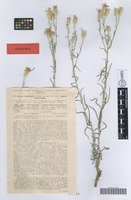 Isotype of Jurinea brachycephala Klokov [family ASTERACEAE]