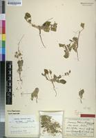 Holotype of Monsonia rehmii Suess. [family GERANIACEAE]
