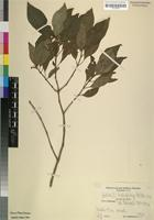 Type? of Justicia brachybotrys Mildbr. ms. [family ACANTHACEAE]