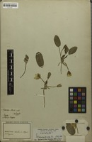 Holotype of Hydrocleys martii Seub. [family LIMNOCHARITACEAE]