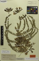 Isotype of Astragalus graecus Boiss. & Spruner [family FABACEAE]