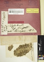 Original material of Opegrapha prominula C. Knight & Mitt.; nom. illeg. [family ROCCELLACEAE]