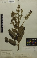 Holotype of Cassia aurivilla Mart. ex Benth. [family FABACEAE]