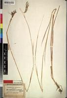 Isotype of Dichanthium papillosum (Hochst. ex A.Rich.) Stapf [family GRAMINEAE]