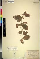 Isotype of Rhynchosia reptans Suesseng. [family LEGUMINOSAE-PAPILIONOIDEAE]