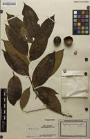 Filed as Cryptocarya merrillii C.T.White [family LAURACEAE]