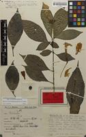 Holotype of Strobilanthes rex C.B.Clarke [family ACANTHACEAE]
