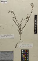 Holotype of Ipomoea albiflora var. stricta Choisy [family CONVOLVULACEAE]