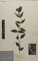 Syntype of Sericographis hirsuta Nees [family ACANTHACEAE]