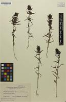 Holotype of Melampyrum semleri Ronniger & Poeverl. [family SCROPHULARIACEAE]