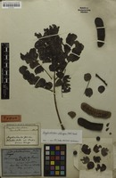Holotype of Acacia adstringens Mart. [family MIMOSACEAE]