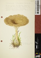 Clitocybe gibba (Pers. : Fr.) P. Kumm.