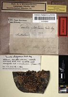 Holotype of Parmelia platytrema Müll. Arg. [family PARMELIACEAE]
