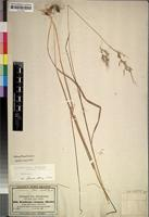 Isotype of Danthonia elongata Hochst. ex A.Rich. [family GRAMINEAE]