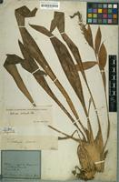 Holotype of Billbergia contracta Mart. ex Schult. & Schult.f. [family BROMELIACEAE]