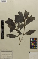 Isotype of Psychotria loniceroides Sieber ex DC. [family RUBIACEAE]