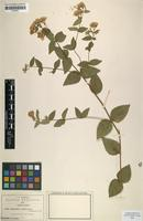 Isotype of Piptothrix jaliscensis Greenm. [family ASTERACEAE]