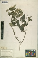 Lectotype of Trixis calycina D.Don [family ASTERACEAE]
