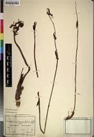 Isotype of Eulophia subsaprophytica Schltr. [family ORCHIDACEAE]