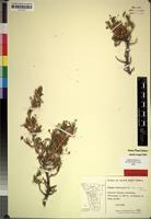 Isotype of Euryops subcarnosus B.Nord. ssp. vulgaris [family COMPOSITAE]
