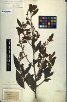 Isotype of Oreodaphne canescens Meisn. [family LAURACEAE]