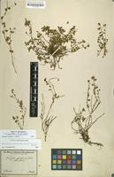Filed as Hybanthus parviflorus (L.f.) Baill. [family VIOLACEAE]