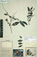 Isolectotype of Lecythis biserrata Miers [family LECYTHIDACEAE]