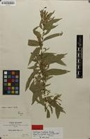 Isotype of Cestrum rigidum Rusby [family SOLANACEAE]