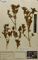 Isolectotype of Buddleja monocephala Kraenzl. [family BUDDLEJACEAE]