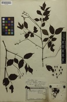 Holotype of Ampelopsis celebica Suess. [family VITACEAE]