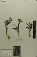 Filed as Anacamptis papilionacea (L.) R.M.Bateman, Pridgeon & M.W.Chase [family ORCHIDACEAE]