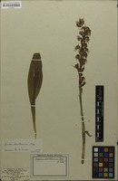 Isotype of Asarca odoratissima Poepp. & Endl. [family ORCHIDACEAE]