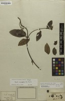 Isotype of Dicella macroptera A.Juss. [family MALPIGHIACEAE]
