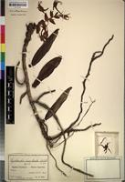 Isotype of Cyrtorchis bracteata Schltr. [family ORCHIDACEAE]