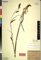 Isotype of Carex aethiopica Boeck. var. stolonifera [family CYPERACEAE]