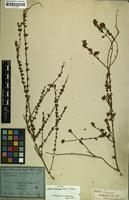 Holotype of Lippia thymoides Mart. & Schauer [family VERBENACEAE]