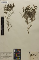 Isotype of Scutellaria suffrutescens S.Watson [family LAMIACEAE]
