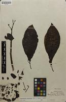 Filed as Cyphomandra sycocarpa (Mart. & Sendtn.) Sendtn. [family SOLANACEAE]