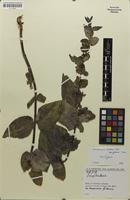 Isotype of Scrophularia kurdica subsp. glabra Grau [family SCROPHULARIACEAE]